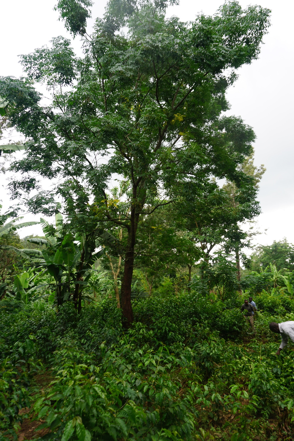 A moringa tree in the middle of the nursing shrub area.