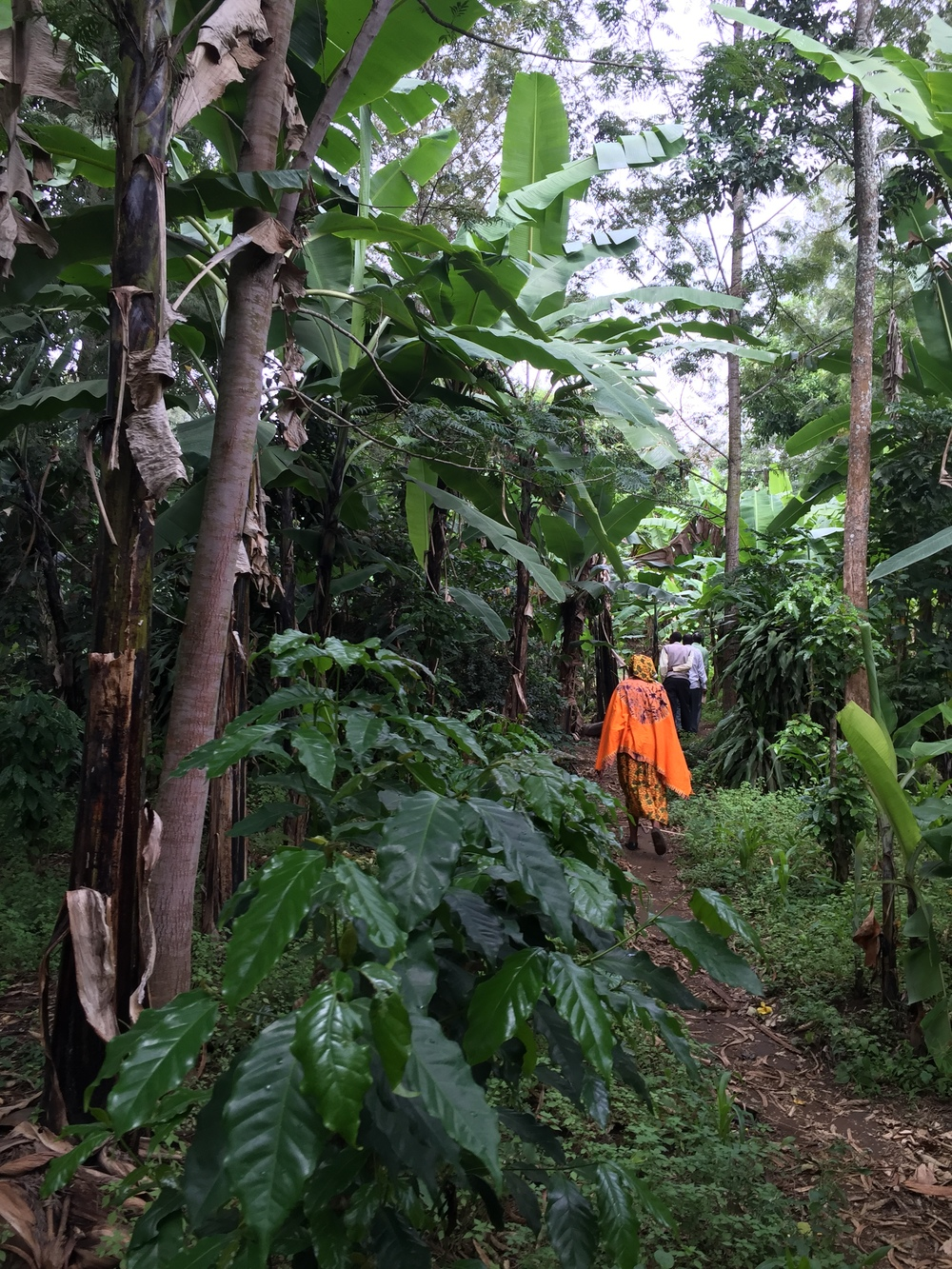 Walking through the thick banana plantations. Most farmers have some designated land for bananas where the odd coffee tree is grown as well.