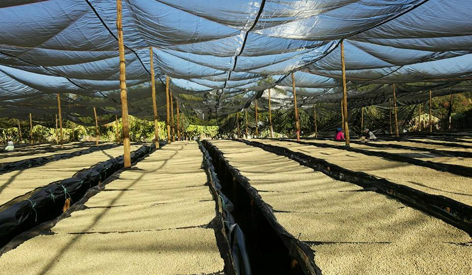 Raised drying beds at Expocamo's beneficio: La Guadalupana.
