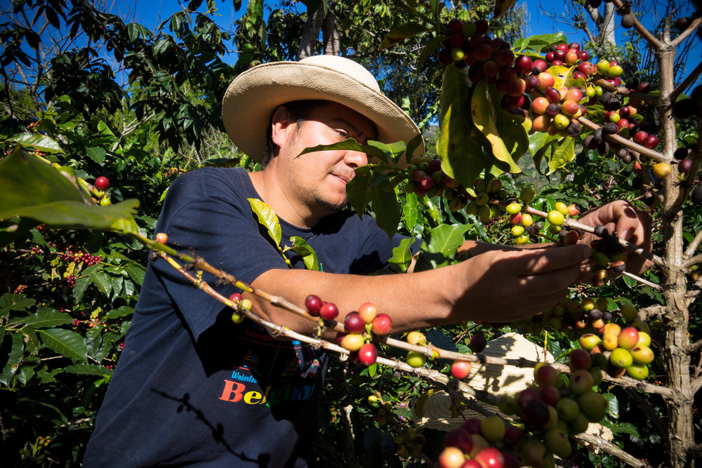 Juan Pablo setting the example on red cherry picking.