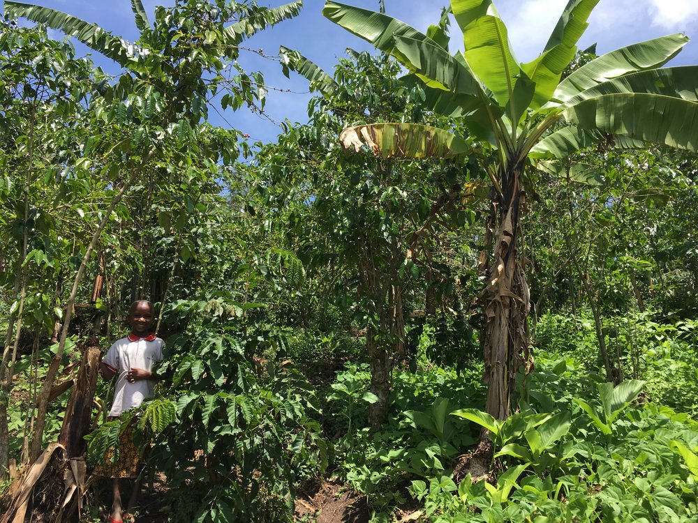 A typical view of the island's coffee fields: banana shade trees and legumes for nitrogen fixing - a questionable and labour intensive measure.