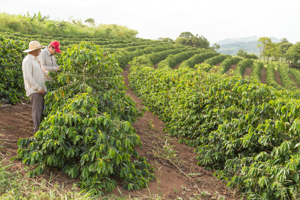 A shot of Fazenda California, Luiz' own estate and one of the Four Seasons partners of Capricornio. Coffees are hand-picked here.