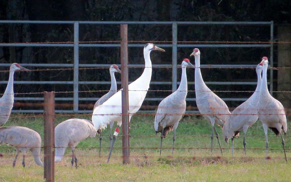 whooper and sandhill cranes 2 kathy van kleeck