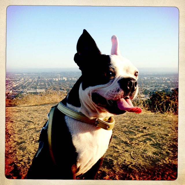 Frasier pup enjoying the sunshine at Runyon Canyon.