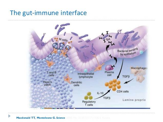 Our gut is one cell layer thick. Most of our immune system is attached to the gut on the outside. It is poised and ready to attack threats.