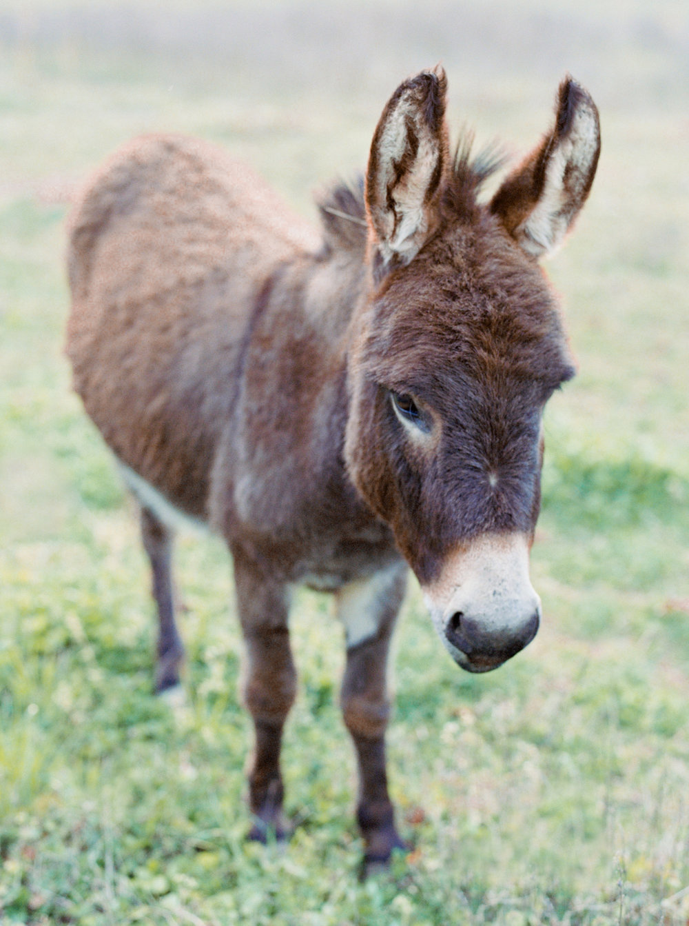 hannah forsberg atlanta wedding photographer whitney spence anniversary session with miniature donkeys and horse-11.jpg