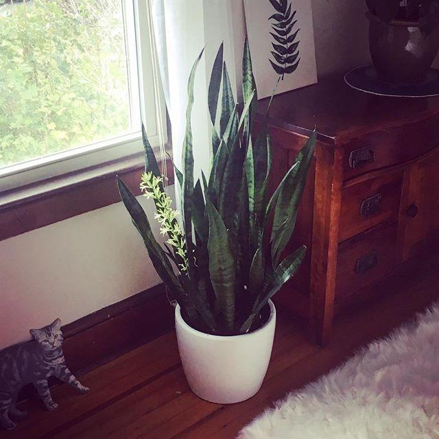 Proud plant parent  #snakeplant #flowering #motherinlawstongue #sansevieria #houseplant #cardboardcat