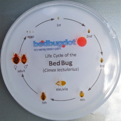 The Bed Bug Life Cycle, from egg, through 5 stages as nymphs, then adult. Each level of growth requires a blood meal.