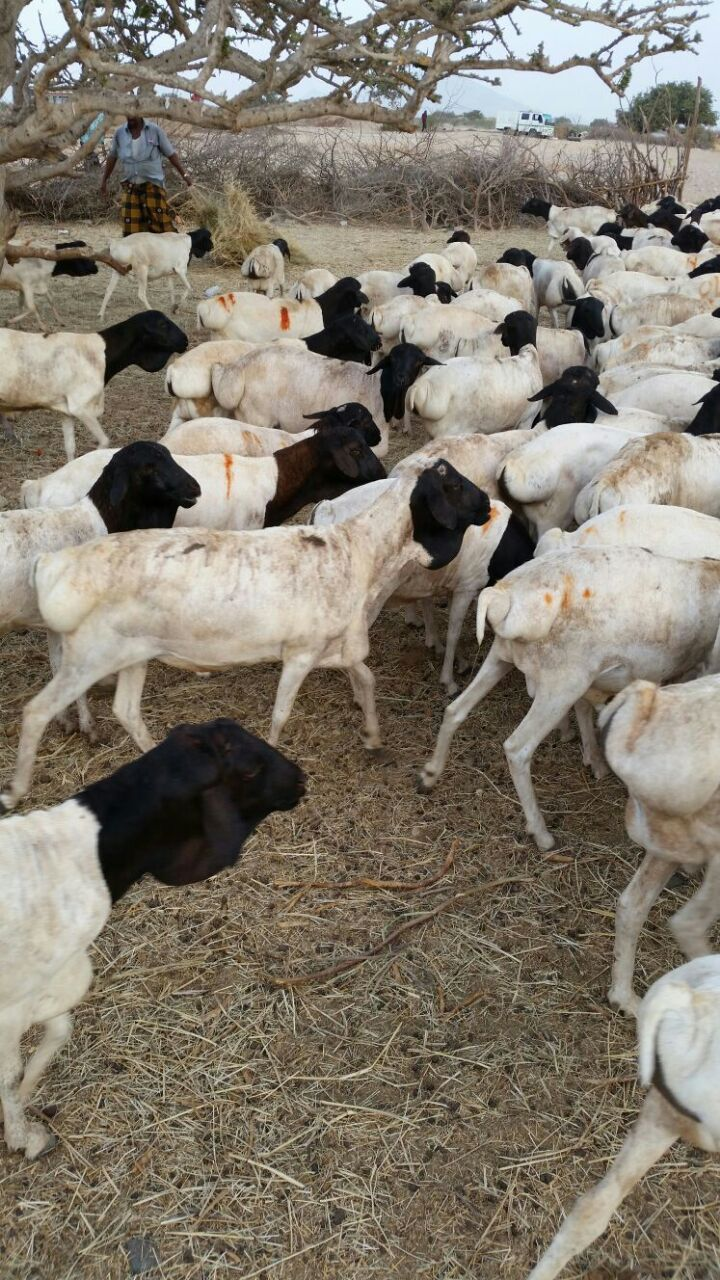 Use Cold Pressed Neem Oil for Sheep, Goats, Camels, Cattle.jpg