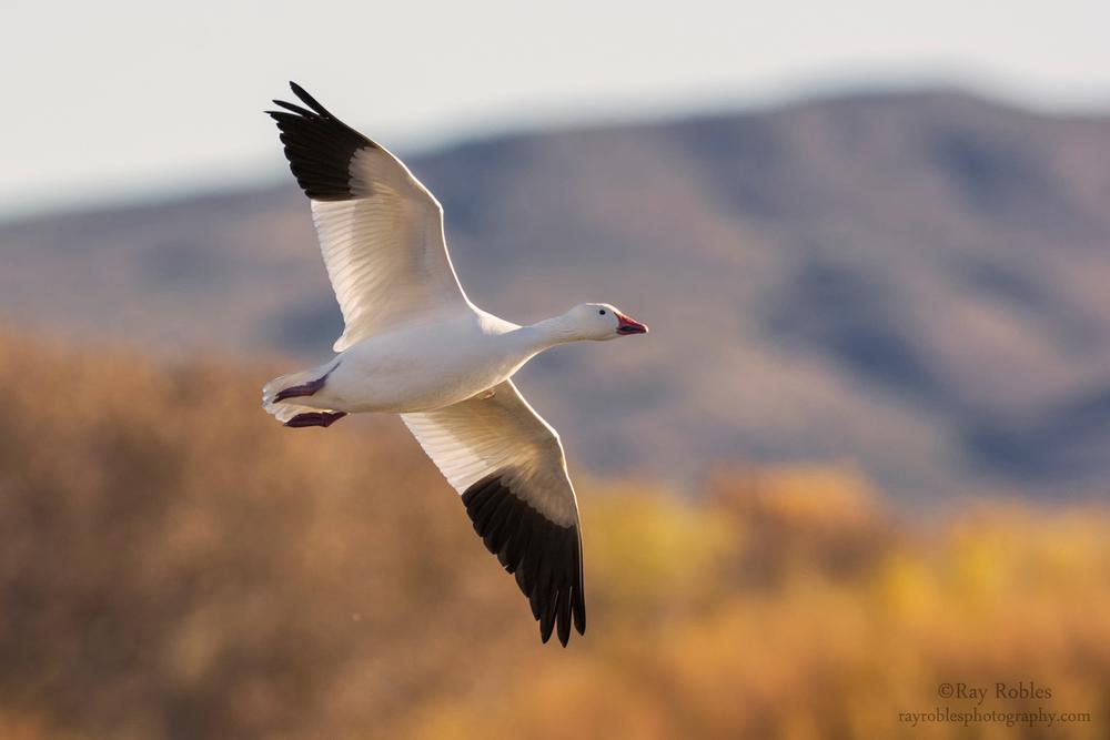 Snow Goose (4).jpg