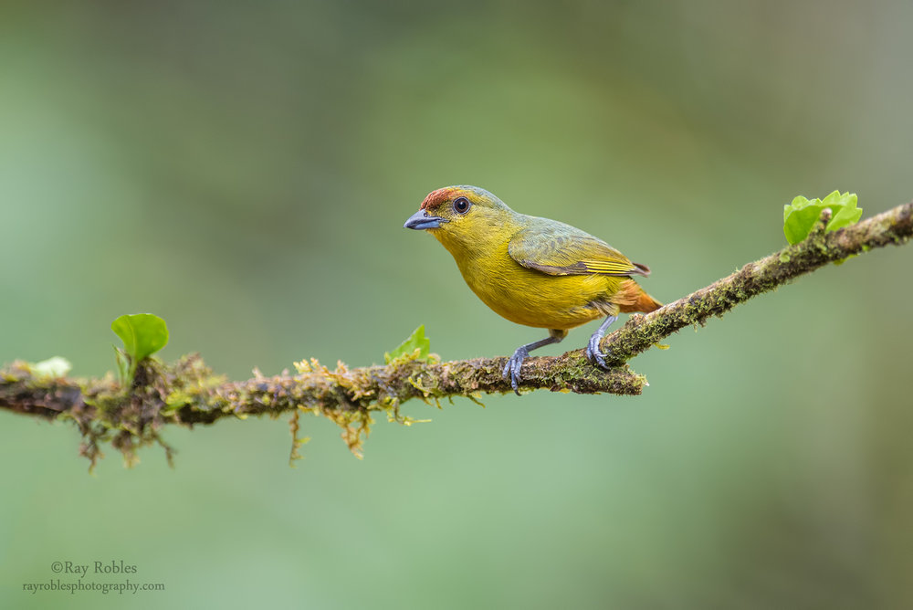 Olive-backed Euphonia