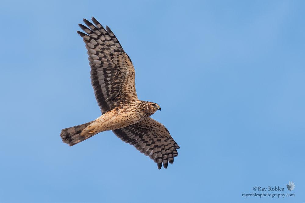 Norhern Harrier.jpg