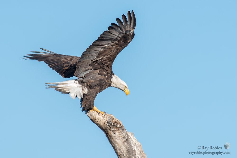 Bald Eagle (9).jpg