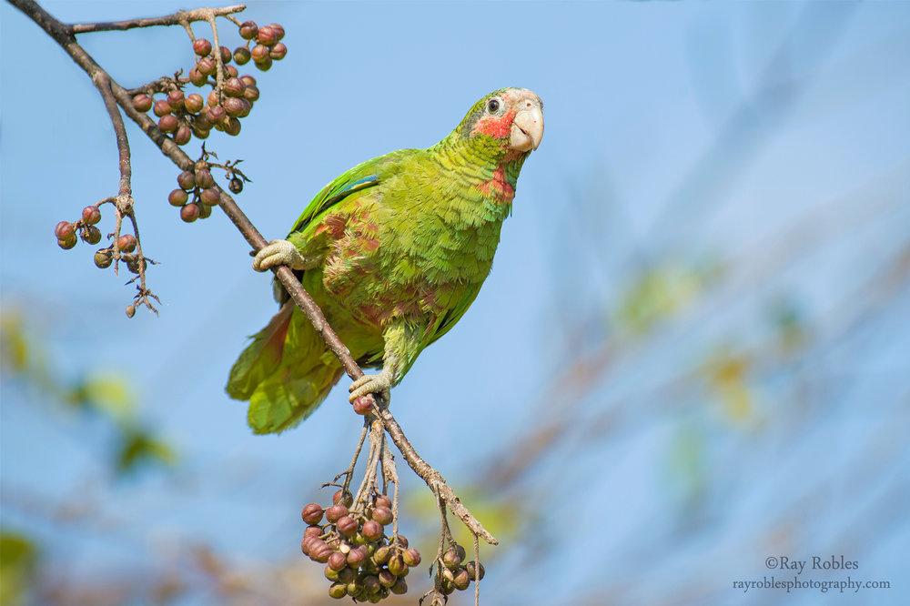 Grand Cayman Amazon (3).jpg