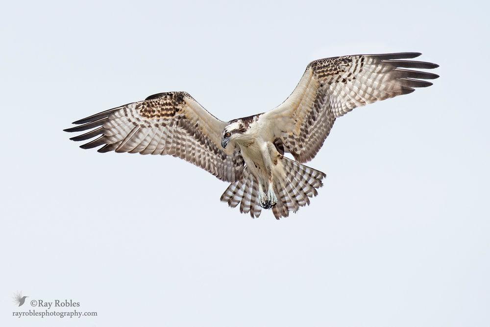 Osprey (7).jpg
