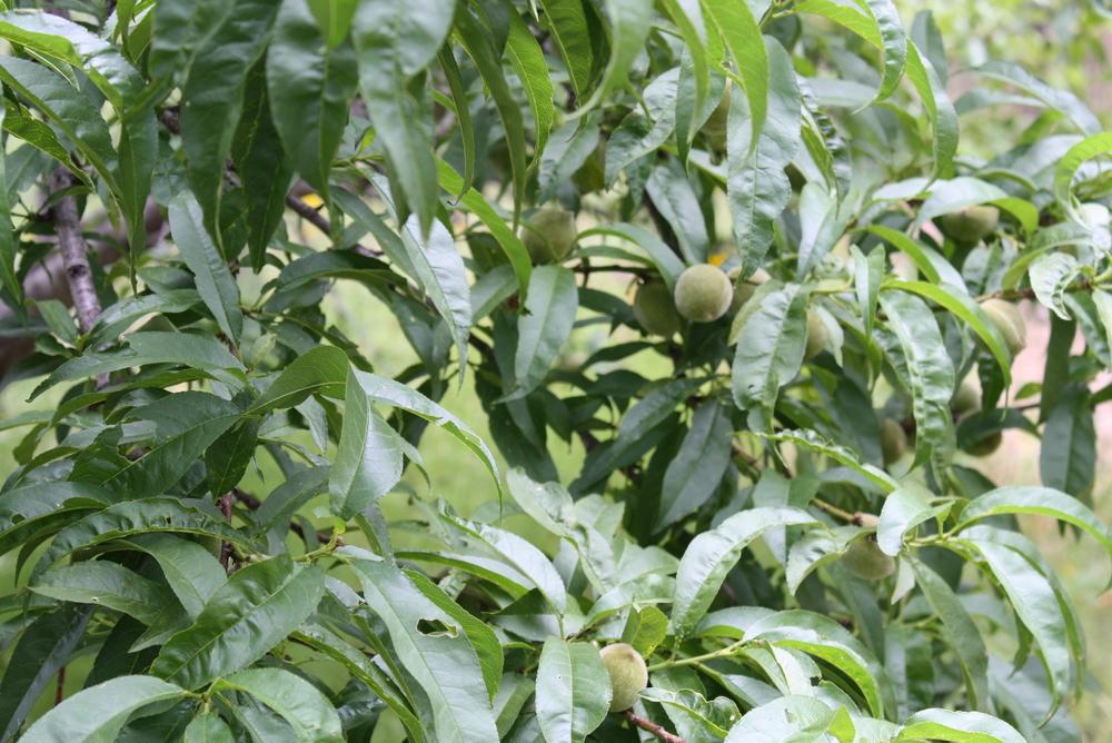 Peach tree!
