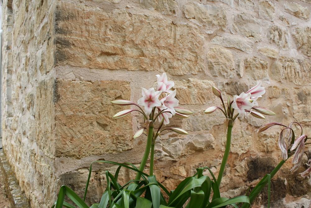 Lilies blooming