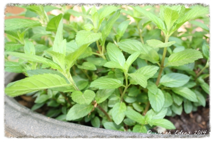 Mint is the easiest herb to grow, just keep it in a pot!  It'll take over your garden otherwise.