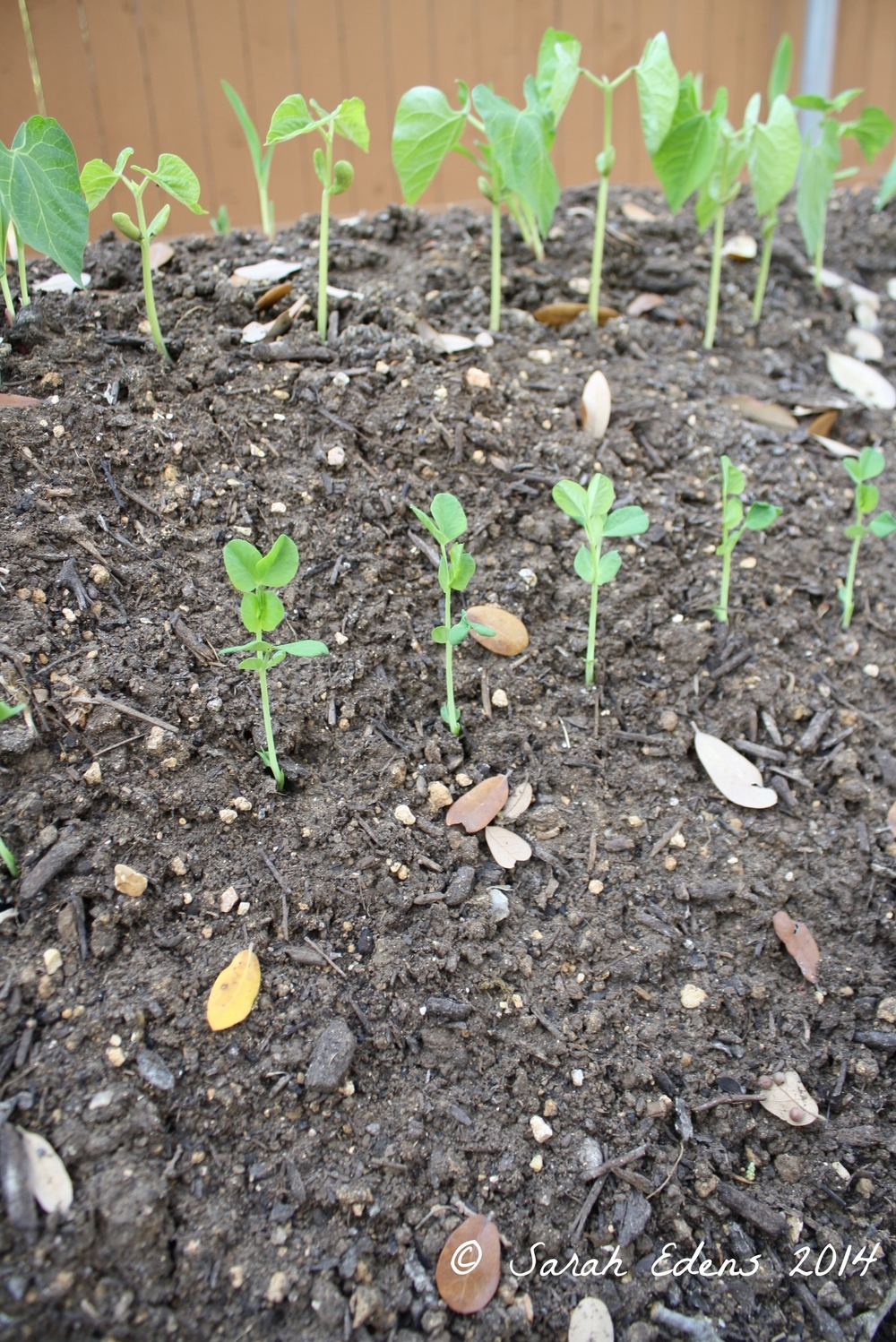 Green bean and pea seedlings