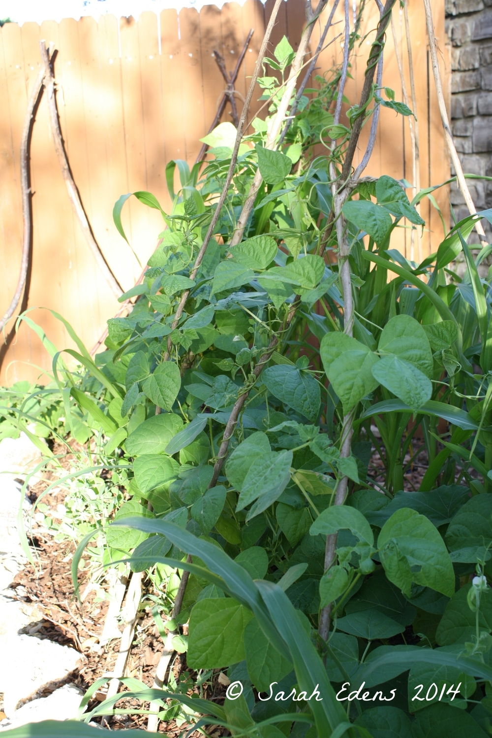 Green beans, mid-May