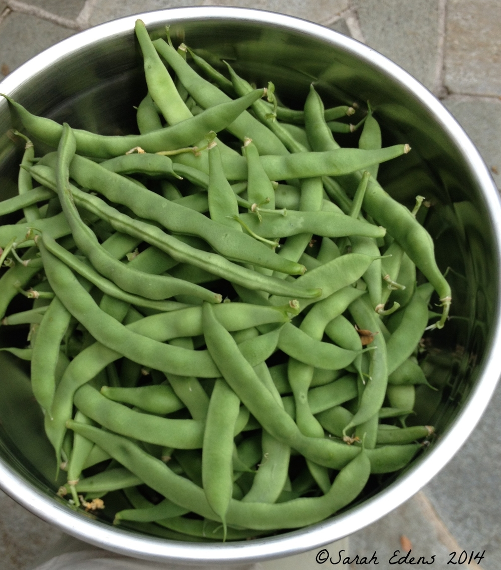 mid-June green beans