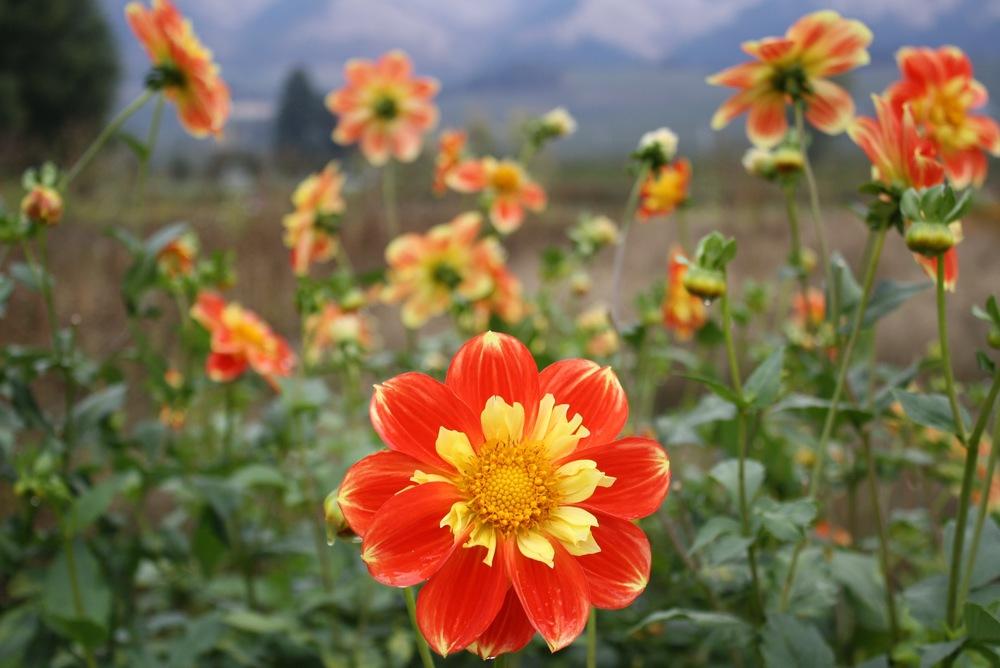 Dahlias in bloom, Hood River, OR