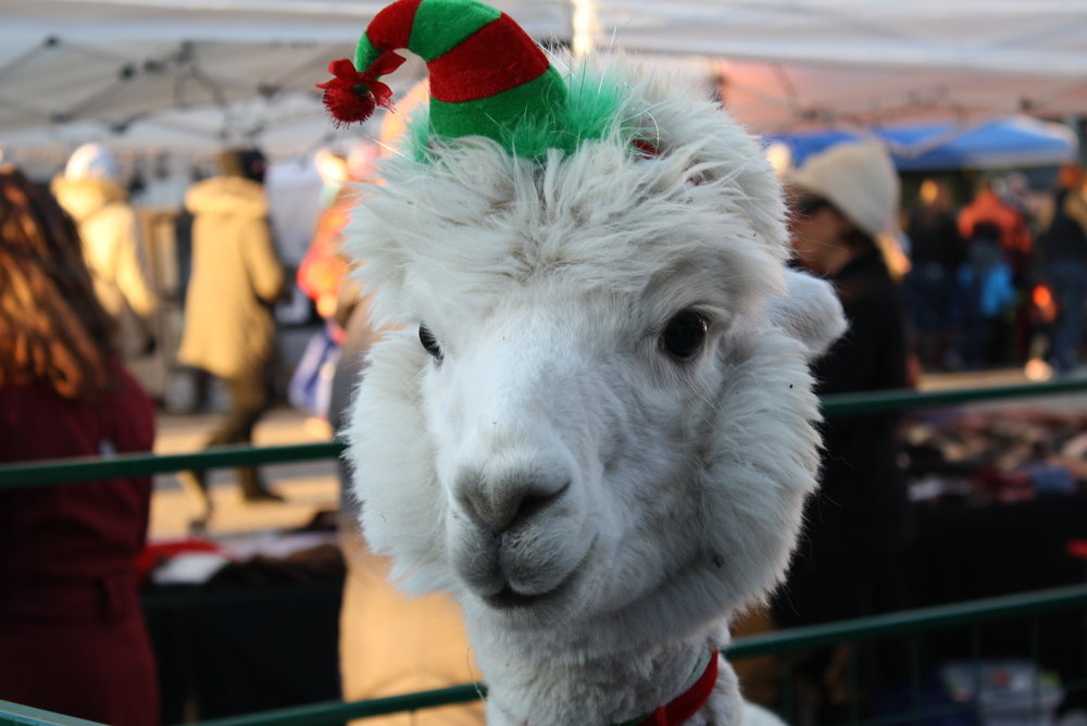 Some of your guests may be stranger than others...but they mean well...and even this sweet alpaca we encountered last week was in the holiday spirit!