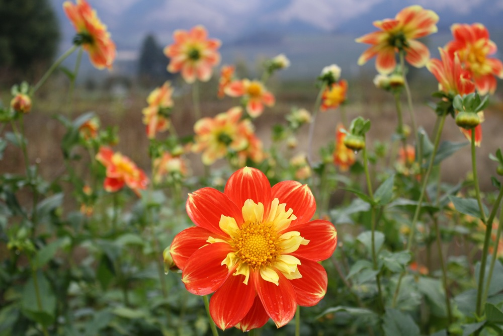 Dahlias at the historic  Gorge White House  (founded in 1908), Oregon