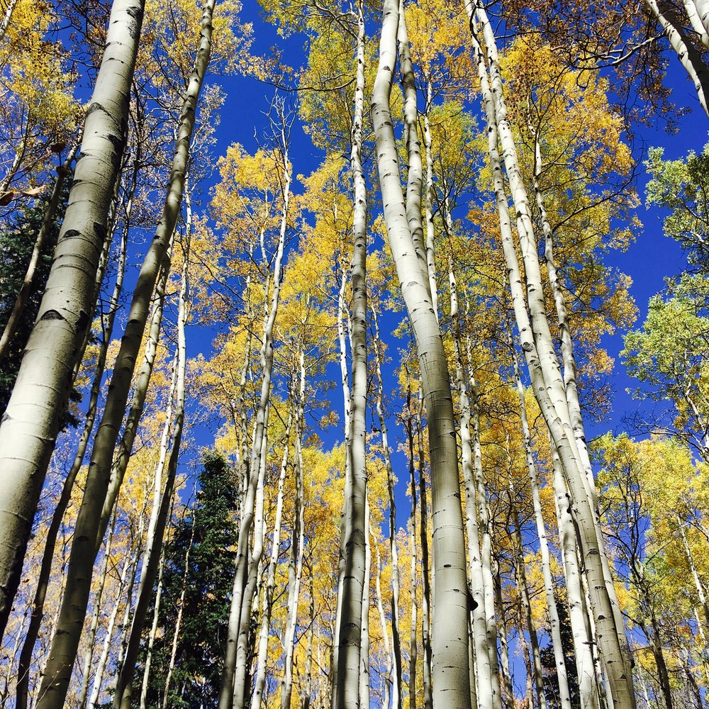 Stands of aspen trees in the Rockies, September 2017