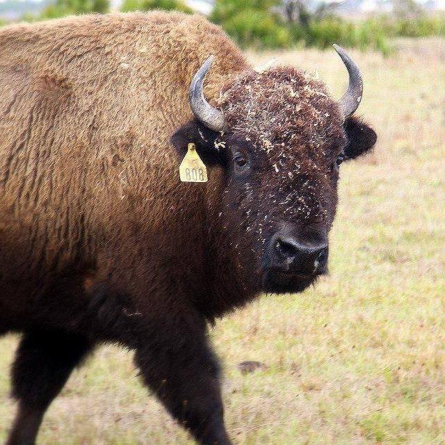 3s bison.jpg