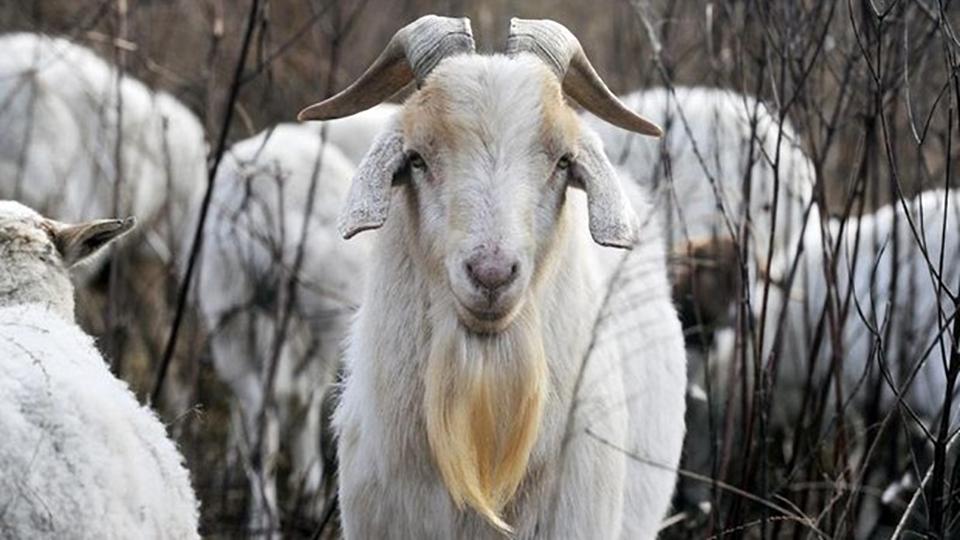 goats-web.jpg