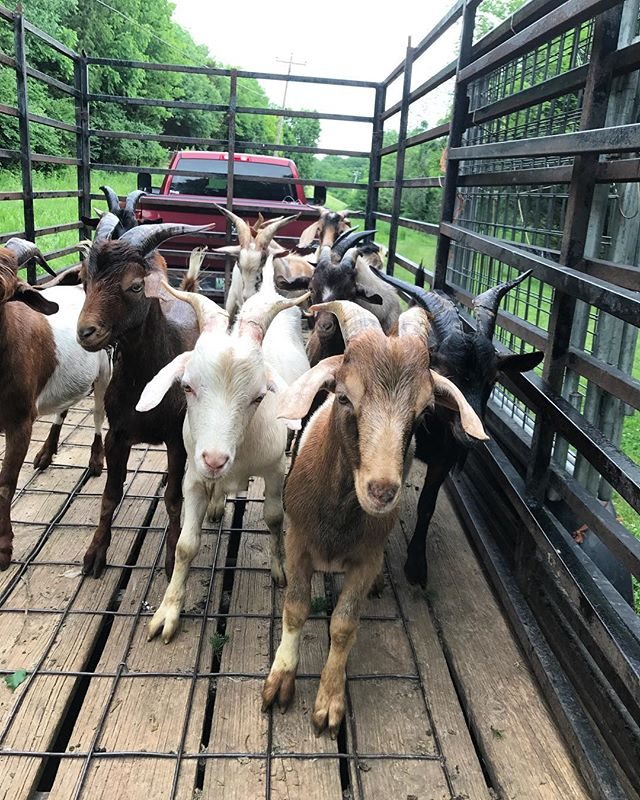 #1 priority - Healthy goats. Hoof trim, yearly vaccinations, and ready to work! #goatguys #rentagoat