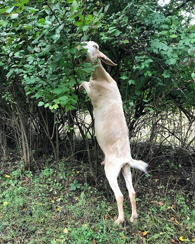 Reach for it! #goatguys