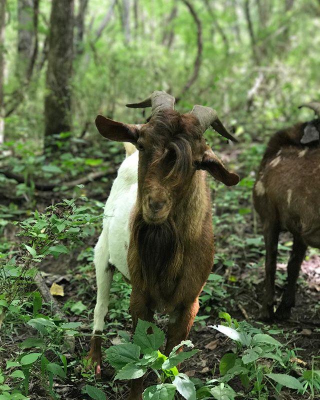 Nice curl buddy 👍🏼🐐 #goatguys