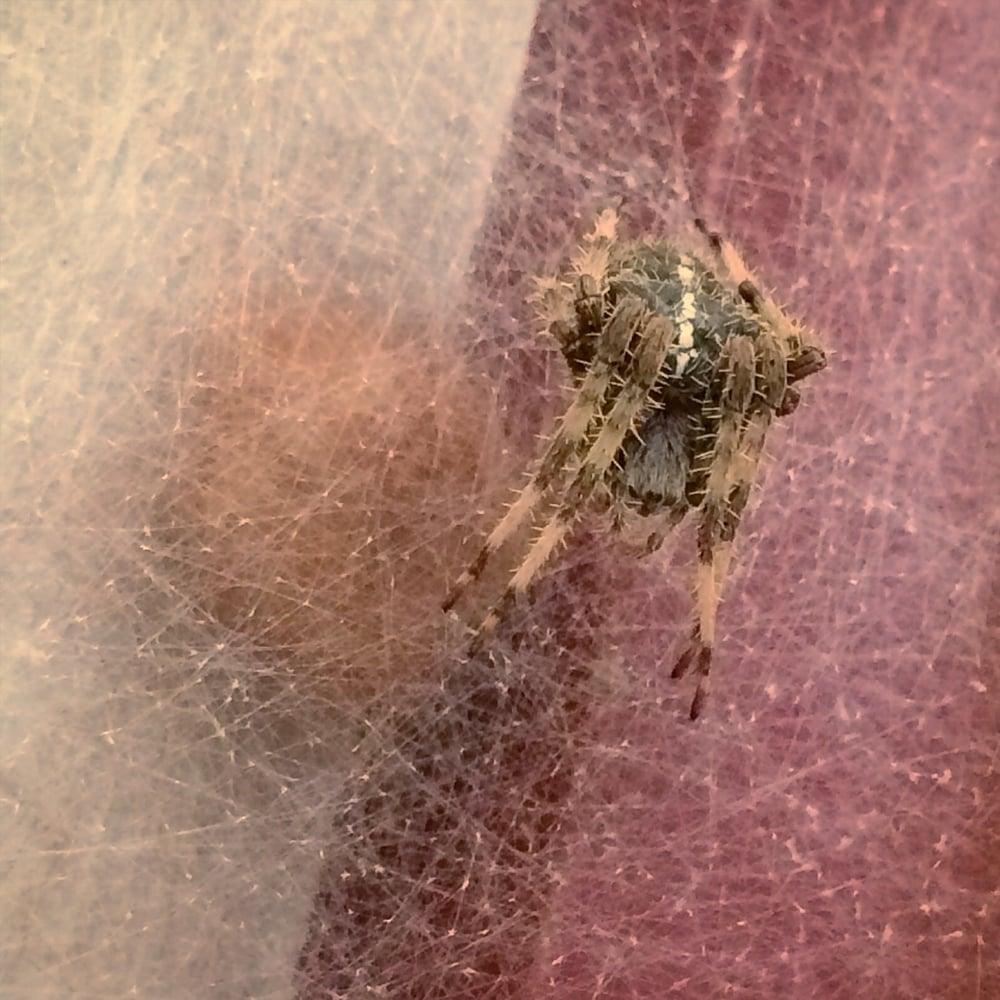 Jewel spider today, January 2016
