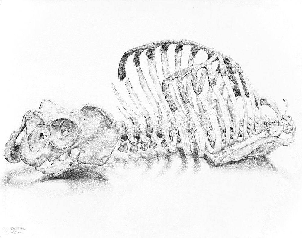 Anatomy Study II (2012) Graphite