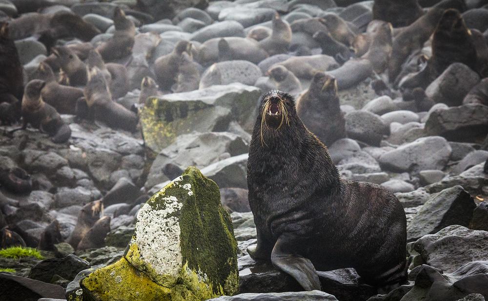 Fur seal harem master