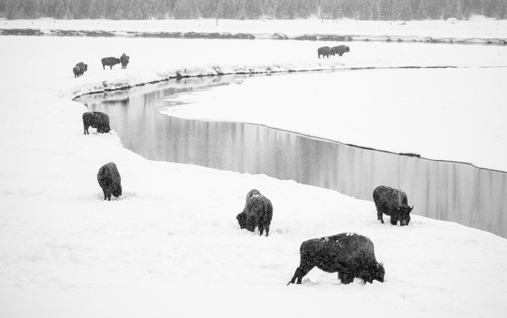 Snowing on bison