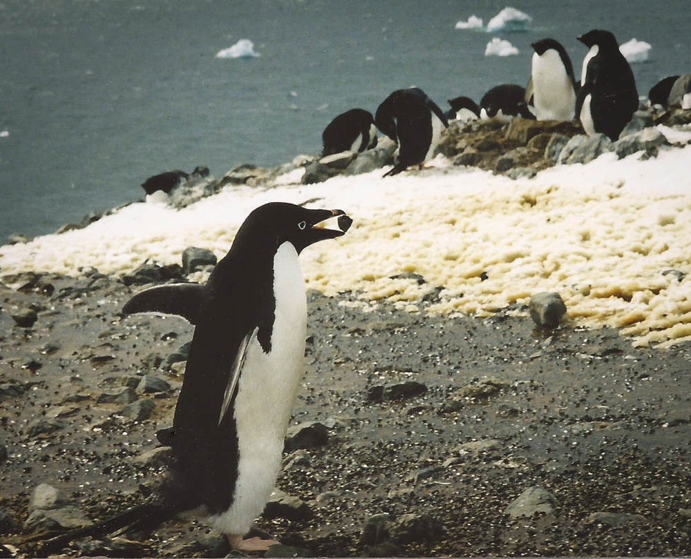 Adelie penguin offering mate a stone for nest