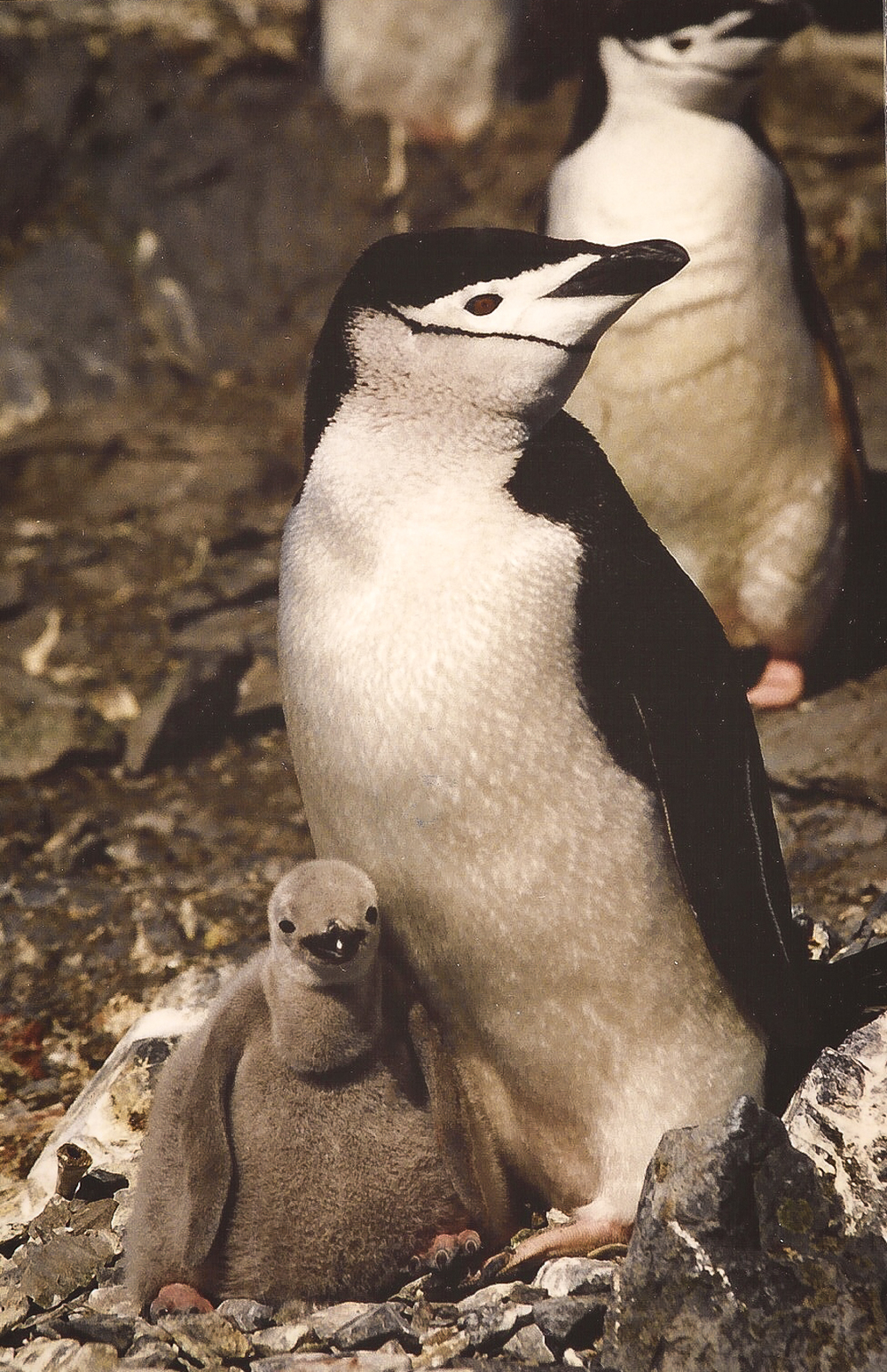 Chinstrap penguin and chicks