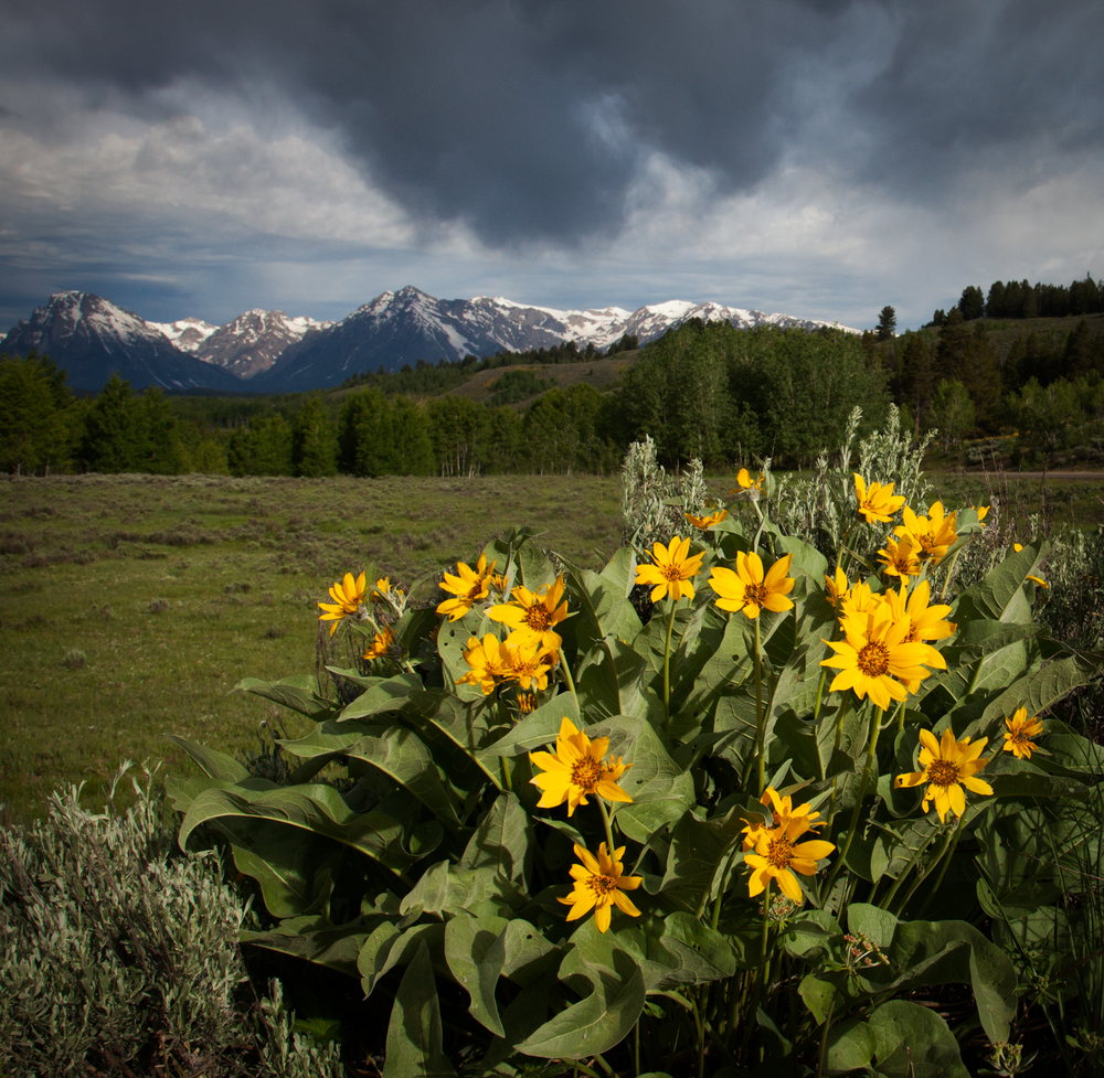 Balsam Root in Jackson Hole
