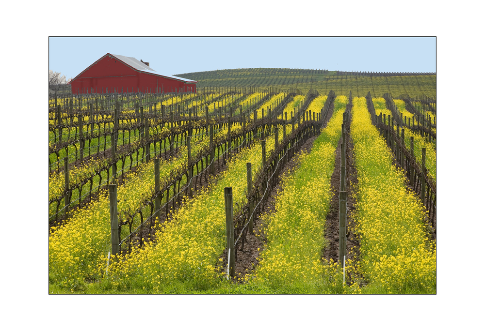 Napa vineyards in mustard season