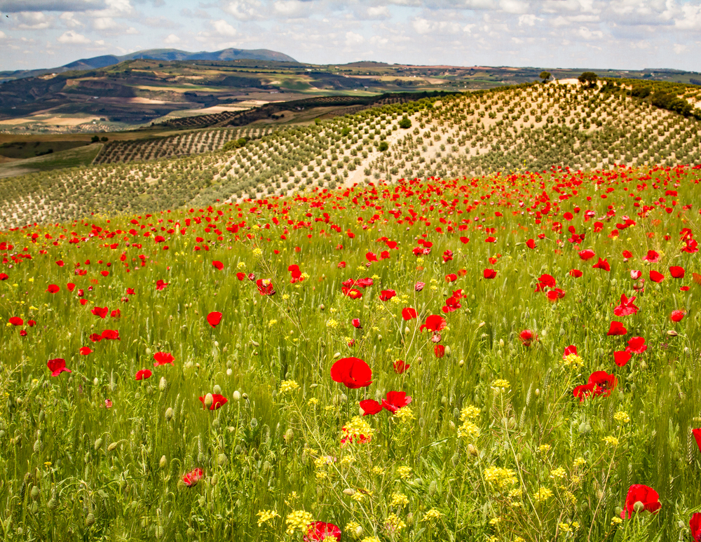 Poppy field in the Sierra Nevada
