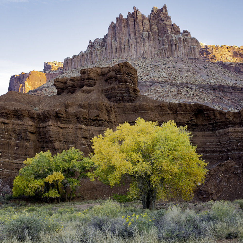 Cottonwood in fall color, Capitol Reef National Park