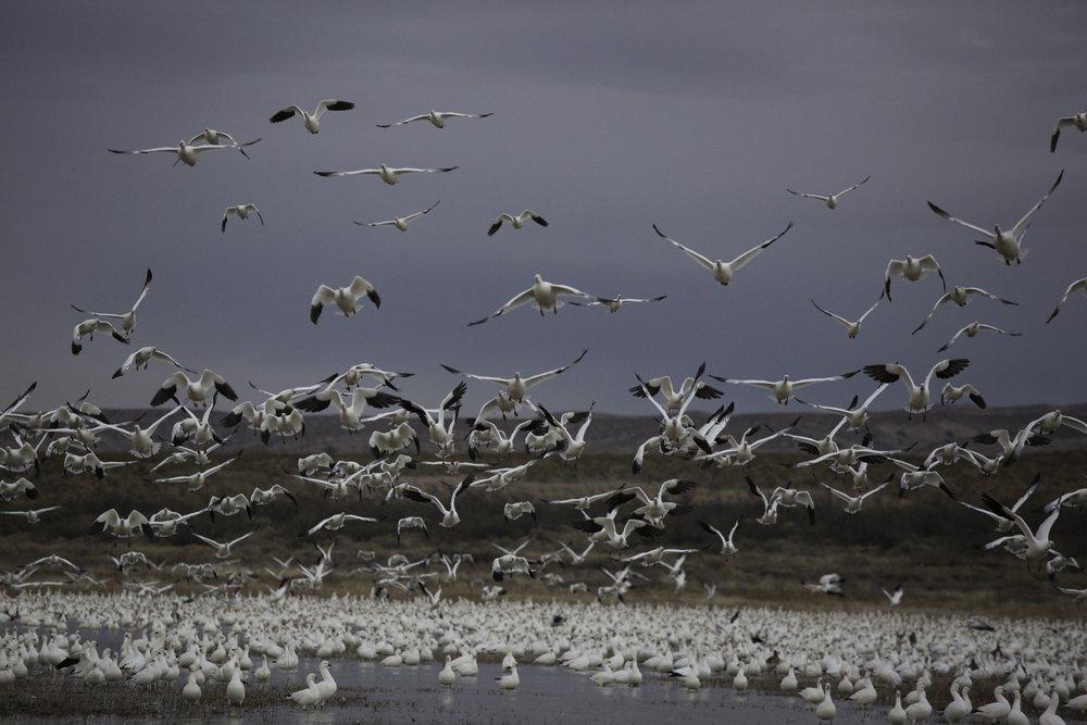 Snow Geese Rising at Dawn
