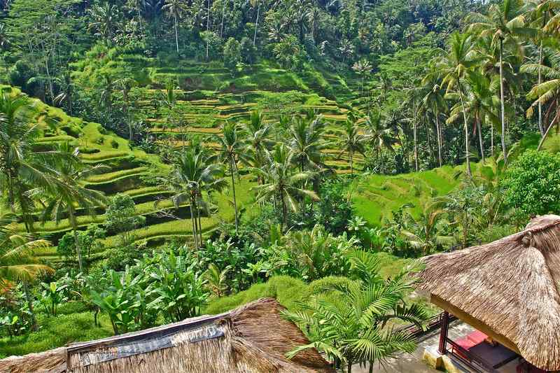 Terraced Rice Fields In Ubud