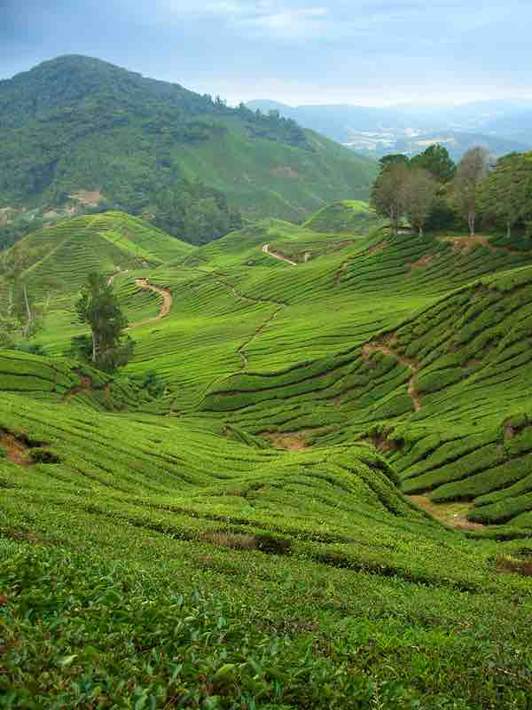 Not the Cameron Highlands we saw
