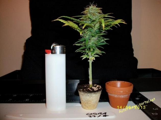 Bonsai marijuana plant