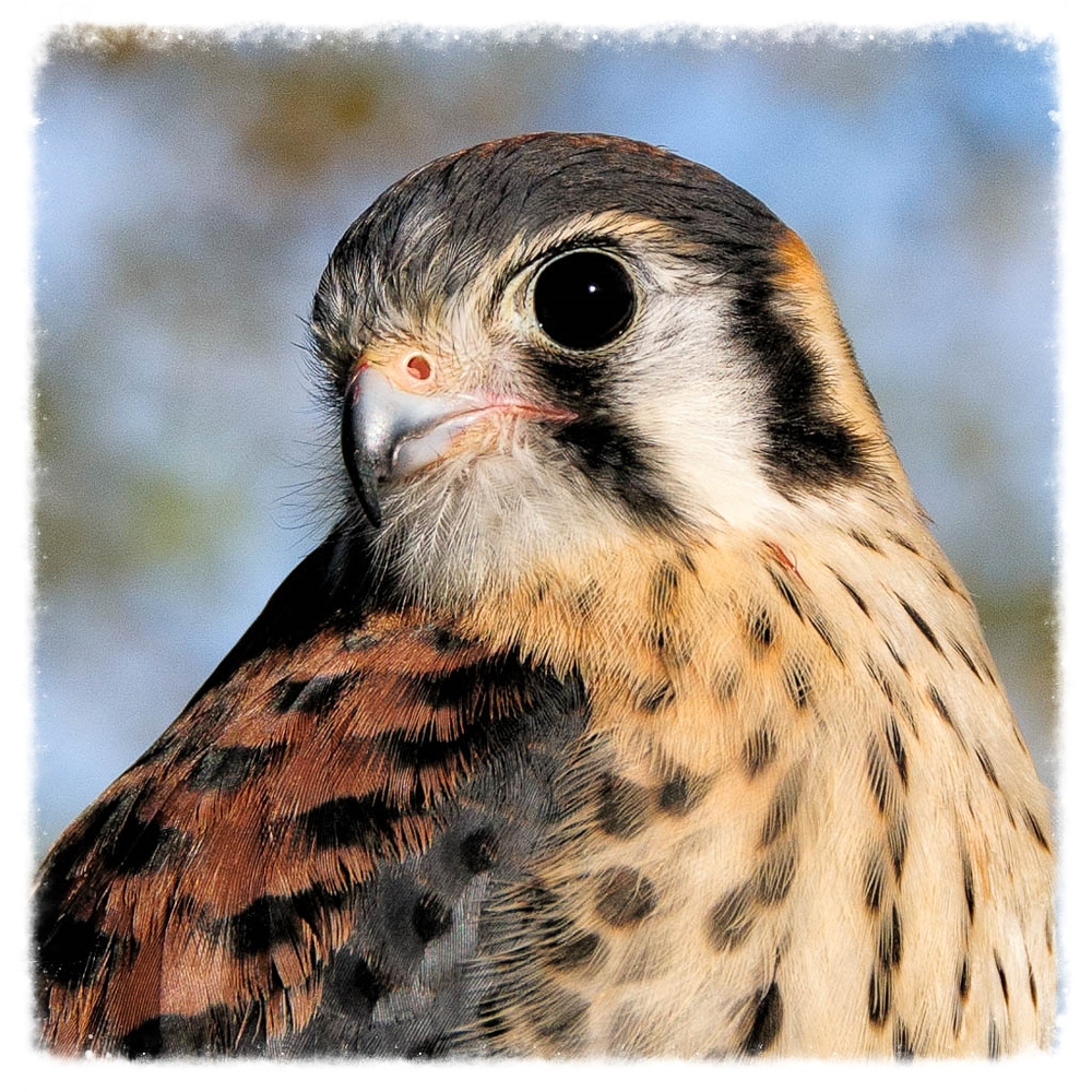 Raptor Education Group American Kestrel.jpg