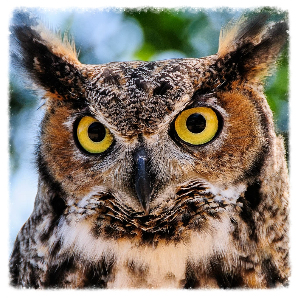 Raptor Education Group Great Horned Owl.jpg